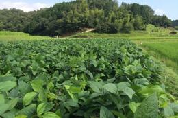 真夏の黒豆畑